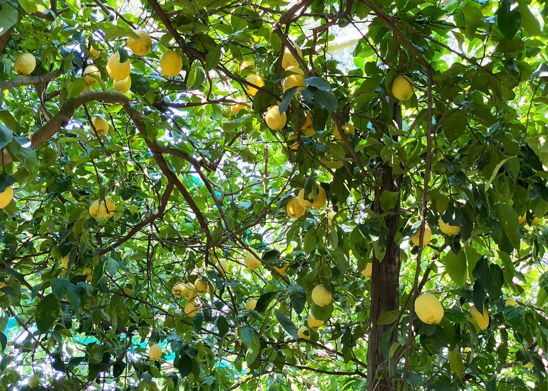 Sorrento Lemon Tour and Limoncello Tasting Experience