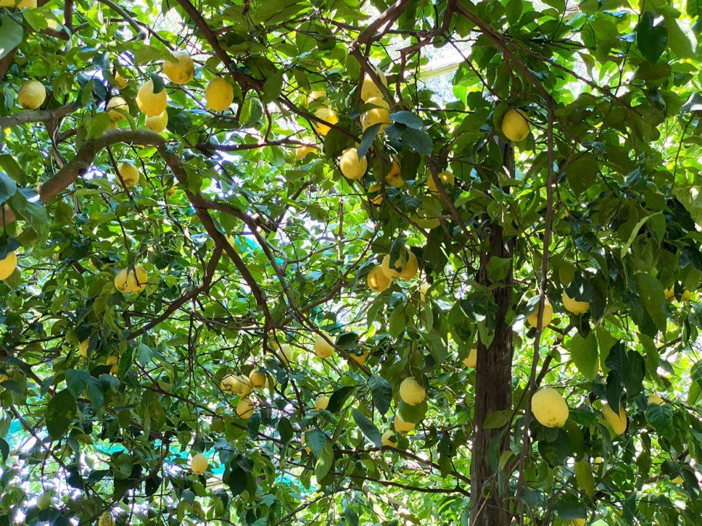 Sorrento Lemon Tour and Limoncello Tasting Experience